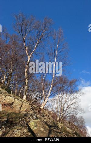 Silver birch trees in full sun, near Watendlath in Cumbria, England, UK - Stock Photo