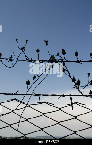 silhouette ivy twine leaves on barbed wire field fence Stock Photo ...
