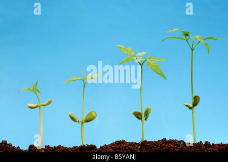 Progression of seedling growth.