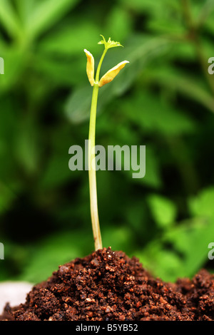 Seedling growing out of soil - Stock Photo