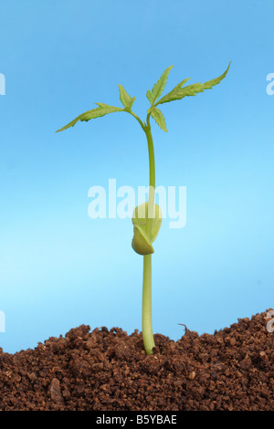 Sapling growing out of soil - Stock Photo