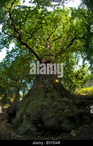 Ancient common english oak tree trunk branches Quercus Robur woodland summer sun Shropshire England UK - Stock Photo