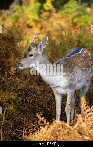 Fallow Deer Dama dama single young male standing in bracken Taken November Knole Park Kent UK - Stock Photo