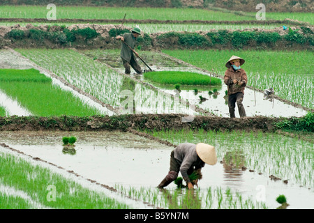 Vietnam production plant rice soggy staple people paddy - Stock Photo