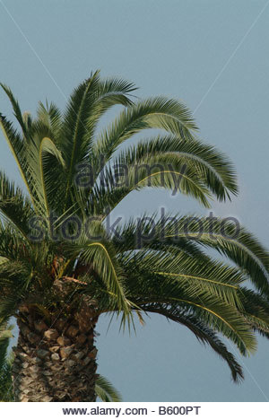 Old Palm tree trunk bark palms leaves leaf date dates nature fauna nature trees growing live olives big large - Stock Photo