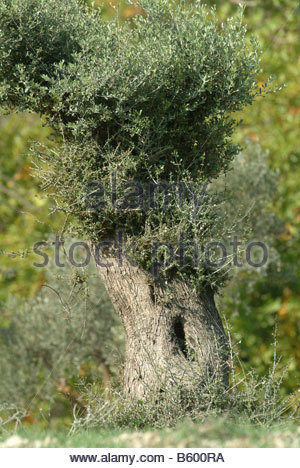 Olive tree trunk bark nature fauna nature trees growing live olives - Stock Photo