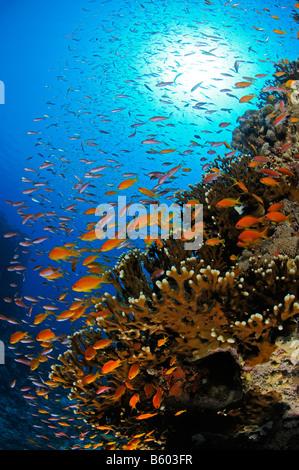 Pseudanthias squamipinnis Lyratail anthias on coral reef, Red Sea - Stock Photo