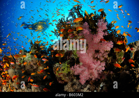 Pseudanthias squamipinnis Dendronephthya klunzingeri Lyratail anthias on coral reef and soft corals with scuba diver, - Stock Photo