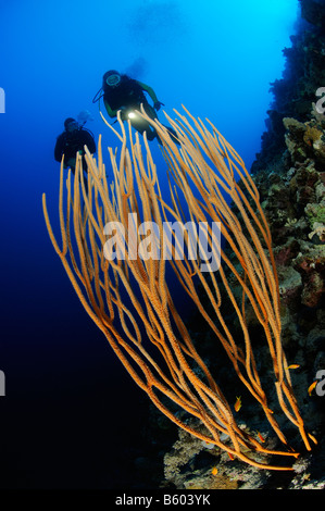 Ellisella sp. two scuba diver at colorful coral reef with yellow whip corals, Red Sea - Stock Photo
