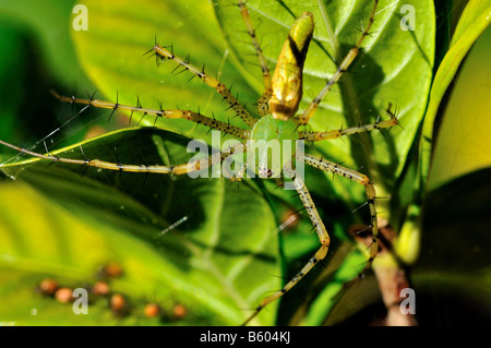 A green lynx spider and her hatchlings. Texas, USA. - Stock Photo