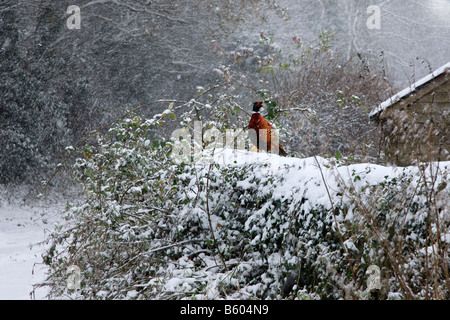 A pheasant on a snow covered dry stone wall during the 'British Winter' UK - Stock Photo