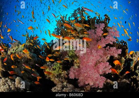 Pseudanthias squamipinnis, Lyratail anthias on coral reef, Red Sea - Stock Photo