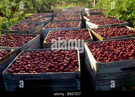 Freshly picked apples fill crates at the Lerew Orchards in Adams County - Stock Photo
