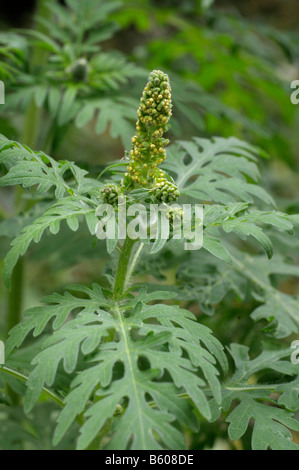 Annual Ragweed, Common Ragweed (Ambrosia artemisiifolia). Young plant with flower buds - Stock Photo