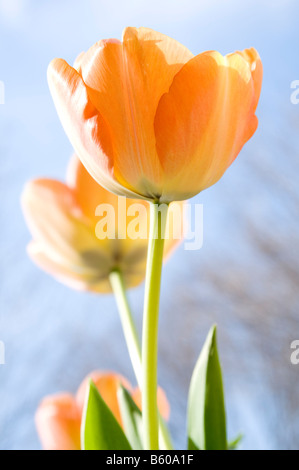 Yellow tulips, spring flowers - Stock Photo