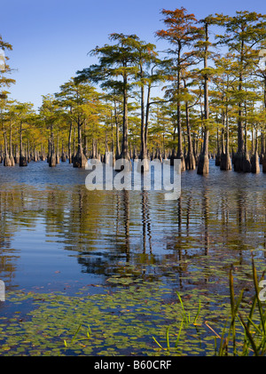 Cypress Trees in the water as seen in South Georgia, USA - Stock Photo