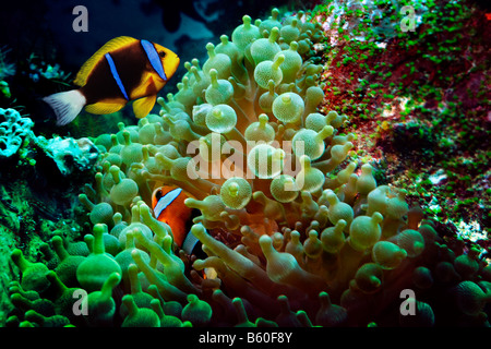 Orange-fin Anemonefish (Amphiprion chrysopterus) in Magnificent Sea Anemone (Heteractis magnifica), Komodo National - Stock Photo