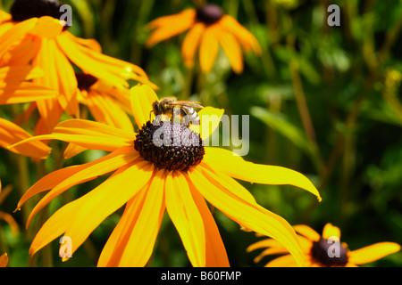 Showy Coneflower (Rudbeckia speciosa) with a bee - Stock Photo