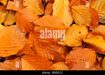 Beech Leaves fagus sylvatica L in autumn woodland UK November - Stock Photo