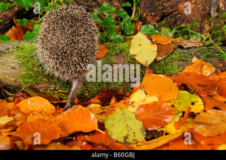 Back view of Hedgehog erinaceus europaeus foraging for food in autumn woodland setting UK - Stock Photo