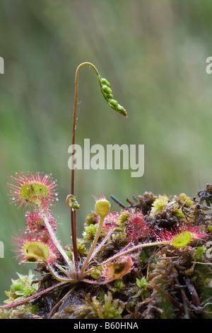 round leaved sundew Drosera rotundifolia