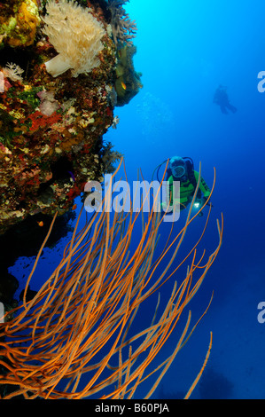 Ellisella sp. Yellow whip coral and scuba diver, Red Sea - Stock Photo