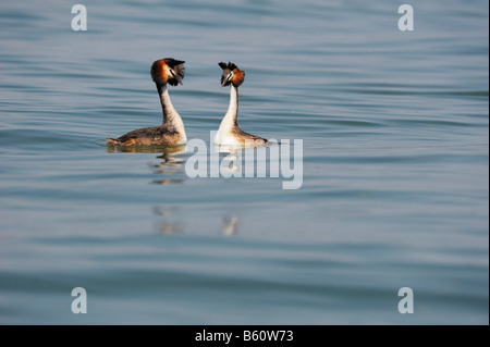 Great Crested Grebe (Podiceps cristatus) breeding pair performing mating rituals, Lake Constance, Konstanz, Baden - Stock Photo