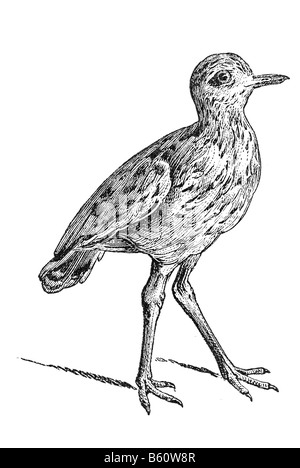 Stone Curlew or Eurasian Stone-curlew (Burhinus oedicnemus) is a northern species of the Burhinidae (stone-curlew) - Stock Photo