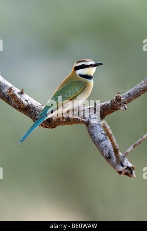 White-throated Bee-eater (Merops albicollis) perched on a branch, Samburu National Reserve, Kenya, East Africa - Stock Photo