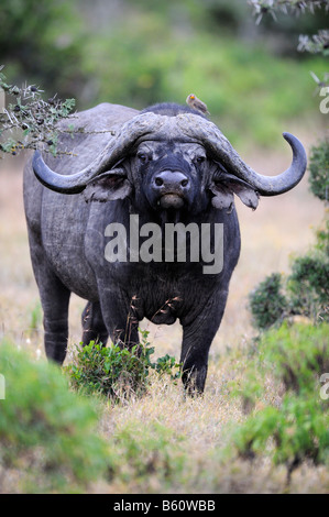 African Buffalo (Syncerus caffer), old bull, rogue, Sweetwater Game Reserve, Kenya, East Africa - Stock Photo