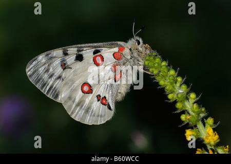Mountain Apollo (Parnassius apollo), butterfly, Swabian Alb, Baden-Wuerttemberg - Stock Photo