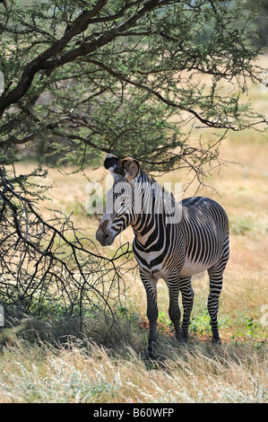 Grevy's Zebra or Imperial Zebra (Equus grevyi) standing in the shadow of an acacia tree, Samburu National Reserve, - Stock Photo