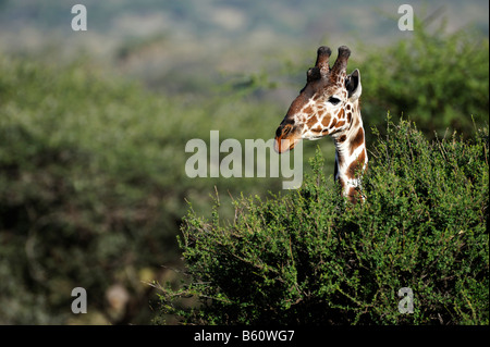 Somali Giraffe or Reticulated Giraffe (Giraffa camelopardalis reticulata), portrait, Samburu National Reserve, Kenya - Stock Photo