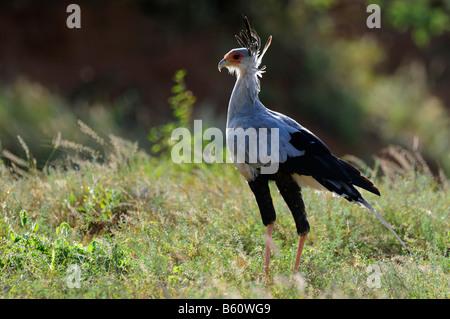 Secretary Bird (Sagittarius serpentarius) with backlighting, Samburu National Reserve, Kenya, East Africa, Africa - Stock Photo