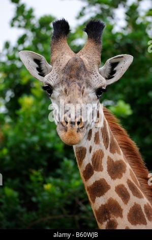 Masai Giraffe (Giraffa camelopardalis), portrait, Nairobi National Park, Kenya, East Africa, Africa - Stock Photo