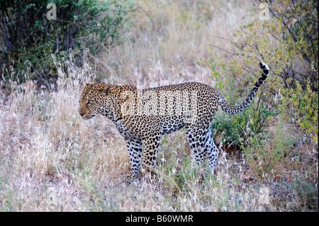 African Leopard (Panthera pardus pardus), Samburu National Reserve, Kenya, East Africa, Africa - Stock Photo