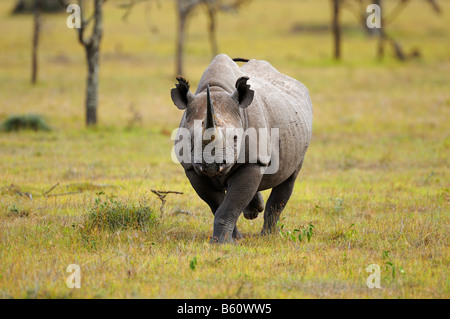 Black Rhinoceros (Diceros bicornis), charging, Sweetwater Game Reserve, Kenya, Africa - Stock Photo