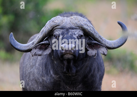 African Buffalo or Cape Buffalo (Syncerus caffer), old bull with broken horn, portrait, Sweetwater Game Reserve, - Stock Photo