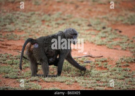 Olive Baboon, or Anubis Baboon (Papio anubis), female with infant, Samburu National Reserve, Kenya, Africa - Stock Photo