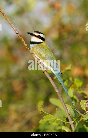 White-throated Bee-eater (M. albicollis), Samburu National Reserve, Kenya, East Africa, Africa - Stock Photo