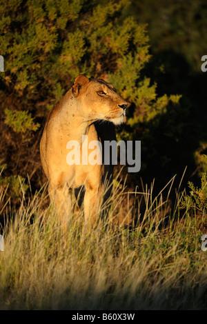 Lion (Panthera leo), lioness at dawn, Samburu National Reserve, Kenya, Africa - Stock Photo