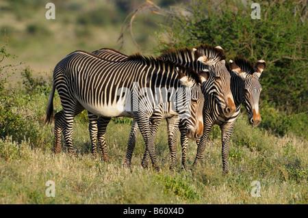 Grevy's zebra, or Imperial zebra (Equus grevyi), herd, Samburu National Reserve, Kenya, Africa - Stock Photo