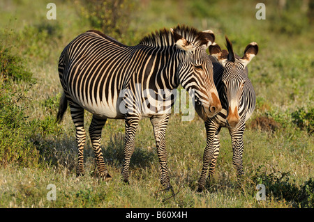 Two Grevy's zebra, or Imperial zebra (Equus grevyi), Samburu National Reserve, Kenya, Africa - Stock Photo