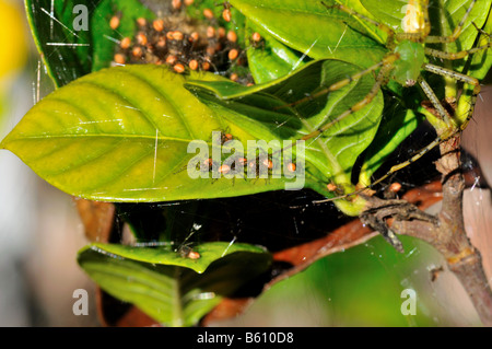 A green lynx spider and her hatchlings. - Stock Photo