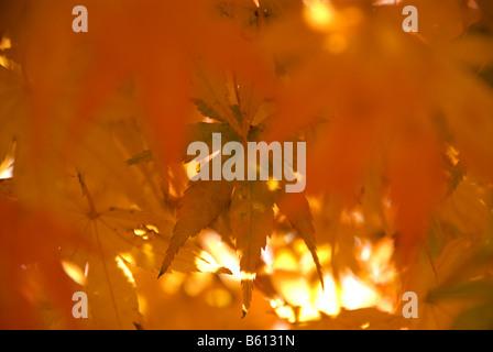 Japanese momiji or Acer palmatum in autumn foliage light brightly orange by the sun Shimosuwa Japan November 13 - Stock Photo