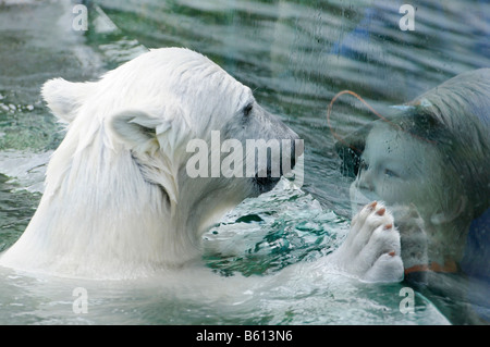 Wilbaer, young Polar Bear (Ursus maritimus) and child, visitor behind windowpane, Wilhelma, Stuttgart - Stock Photo