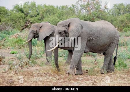 African Bush Elephants (Loxodonta africana), Lake Manyara National Park, Tanzania, Africa - Stock Photo