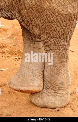Feet of an African Bush Elephant (Loxodonta africana) in comfortable crossed position, Tsavo East National Park, - Stock Photo