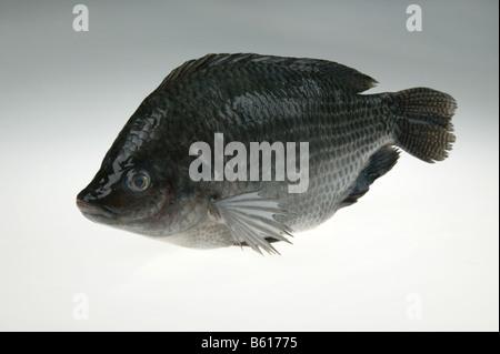 tilapia,freshwater fish - Stock Photo
