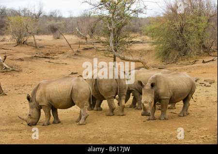 wild White Rhinoceros rhino CERATOTHERIUM simum in acacia woodland south africa south-africa at dry dried waterhole - Stock Photo